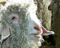 Sheep and Wool 2004
